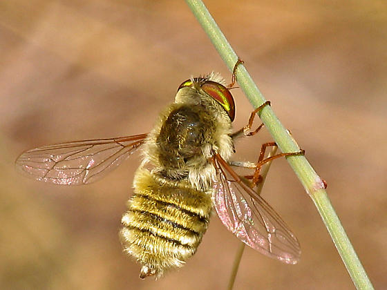 Bee fly ... - Neorhynchocephalus sackenii
