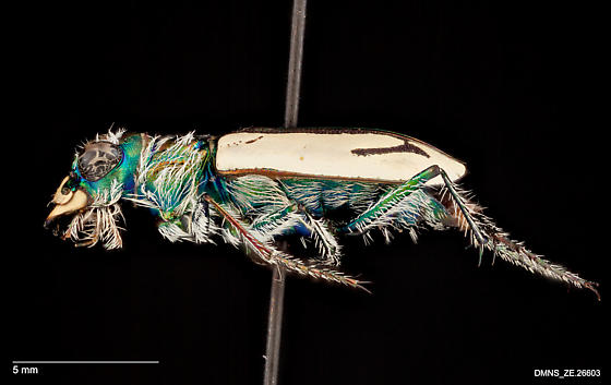 Cicindela arenicola - female