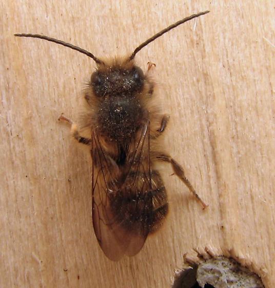 Bee house, the next generation - Osmia cornifrons - male