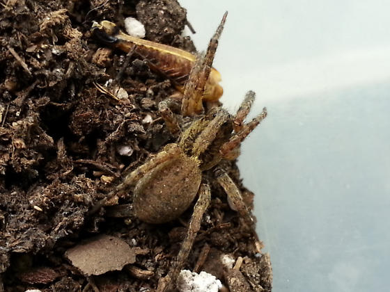 Lycosidae  - Trochosa sepulchralis - female