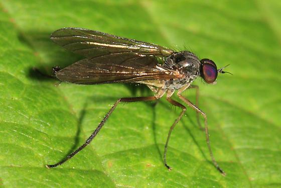 snipe fly - Oreogeton