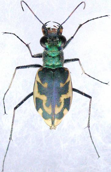 E. n. knausii  - Ellipsoptera nevadica