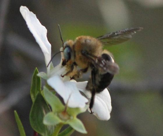 Bee on Fendlera rupicola - Xylocopa tabaniformis - male