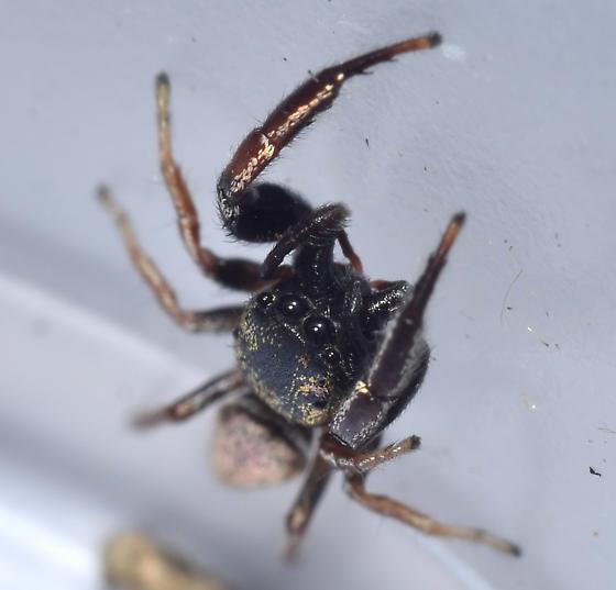 Jumping Spider - Sassacus vitis - male