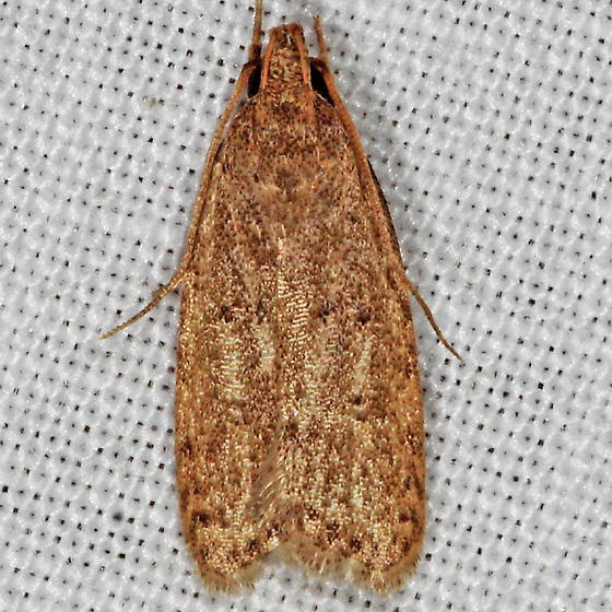 Unknown Micromoth - Autosticha kyotensis