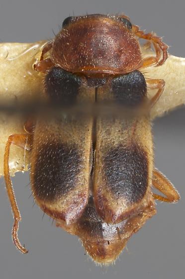 Collops insulatus