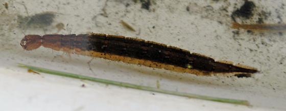 Unknown beetle larva? - Cybister