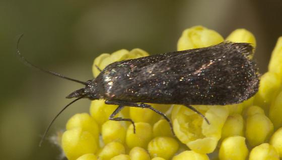 Small dark moth - Pyla scintillans