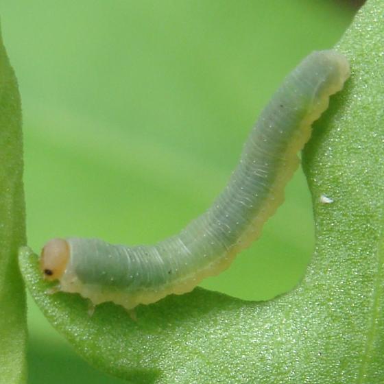 Sawfly larva on sheep sorrel - Ametastegia