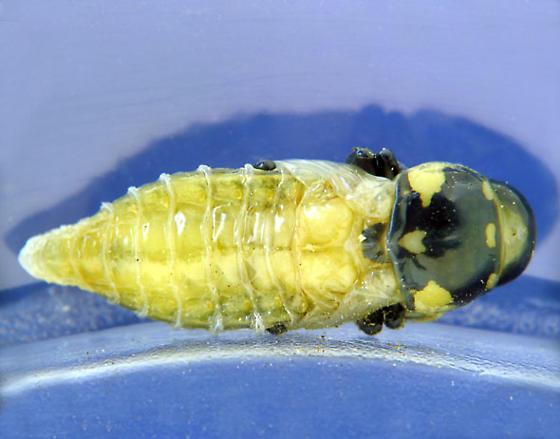 Sotol stalk pupa -- REALLY dark now - Thrincopyge alacris
