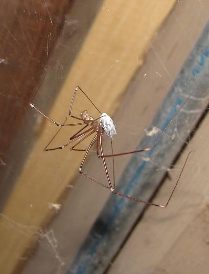 Cellar spider at TX mini-gathering - Holocnemus pluchei