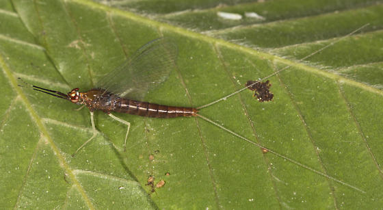Mayfly - Isonychia