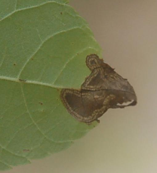 Lake Crabtree leaf miner on Juglans nigra D2214 Stigmella 2020 2.1 - Stigmella juglandifoliella