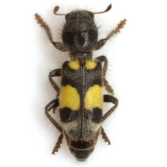 Enoclerus laetus (Klug) ssp. abruptus (LeConte) - Enoclerus laetus