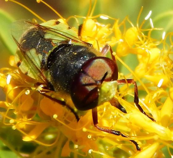 Fly - Hedriodiscus truquii