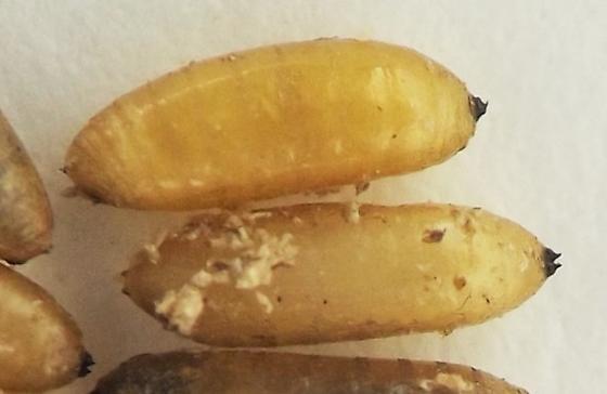 Nettle stem puparia - Melanagromyza