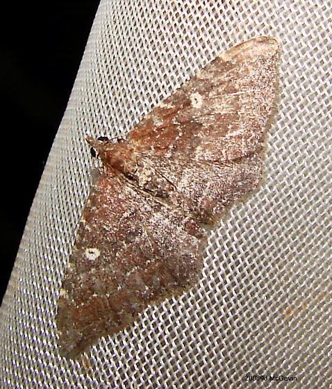 Moth July 22 08 hmm - Orthonama obstipata