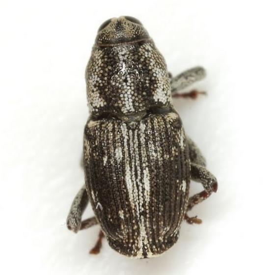 Cylindrocopturus quercus (Say) - Cylindrocopturus quercus