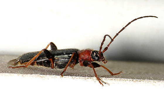 Black and Red Beetle - Phymatodes testaceus