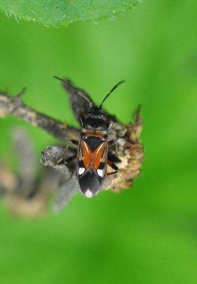Seed bug - Raglius alboacuminatus