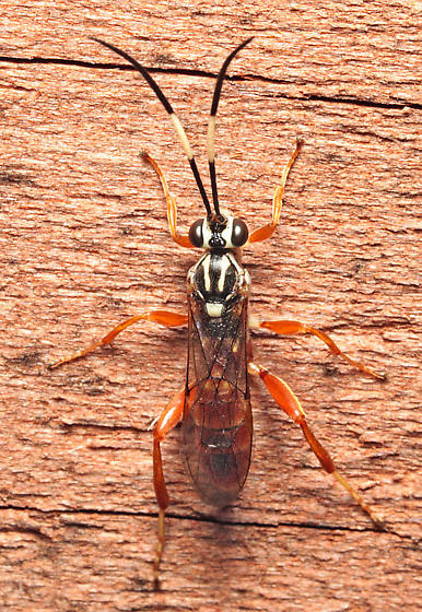Wasp - female