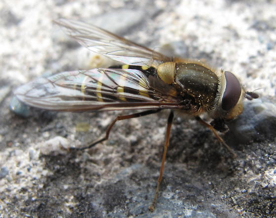 Syrphini - not sure which - Syrphus torvus - female