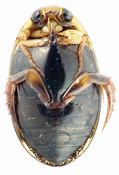 Thermonectus basillaris - male