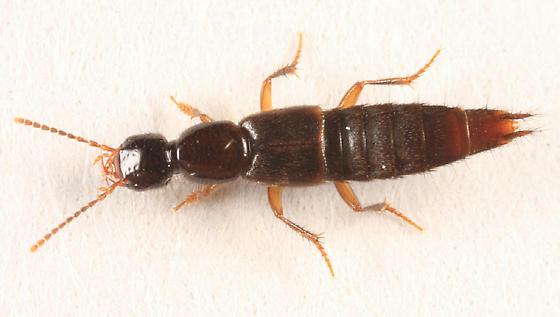 rove beetle - Erichsonius brachycephalus