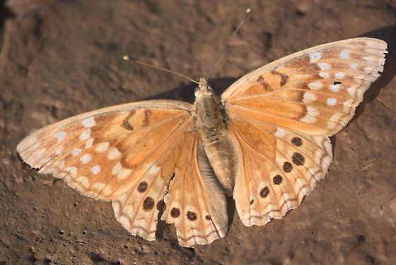 (Texas?) Tawny Emperor - Asterocampa clyton