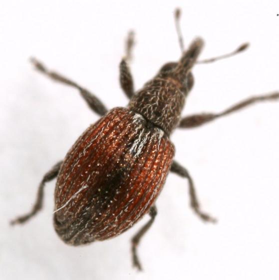 Coelocephalapion
