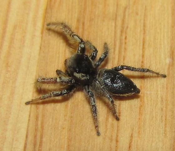 Fancy jumper - Phidippus arizonensis - male