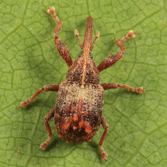 weevil - Anthonomus quadrigibbus