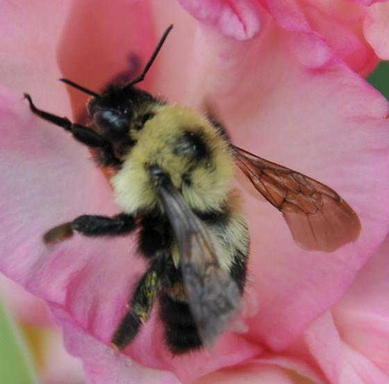 Two-spotted Bumble Bee - Bombus bimaculatus - female