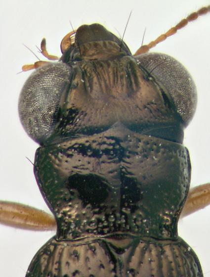 Carabidae, head & pronotum - Notiophilus aeneus