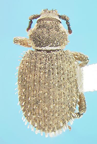Curculionid - Cathormiocerus aristatus
