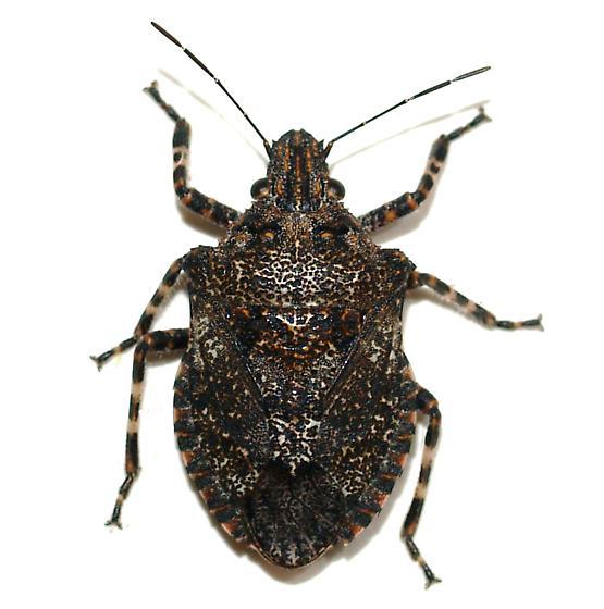 Pentatomidae - Brochymena parva