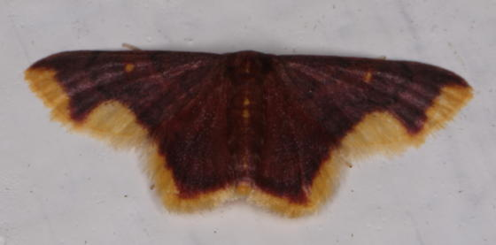 Lophosis labeculata - male