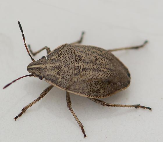 Scutelleridae? - Coenus delius
