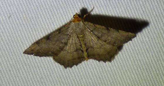 Macaria transitaria - Blurry Chocolate Angle - Macaria transitaria