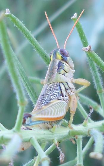 Acrididae - female