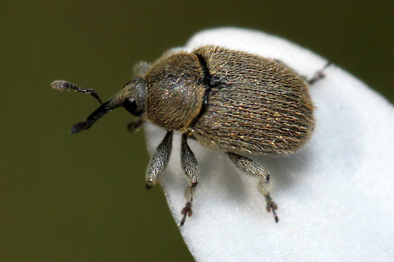small brown hairy weevil - Rhinusa tetra