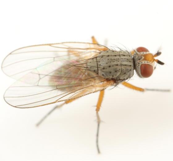 Pegomya hyoscyami - female