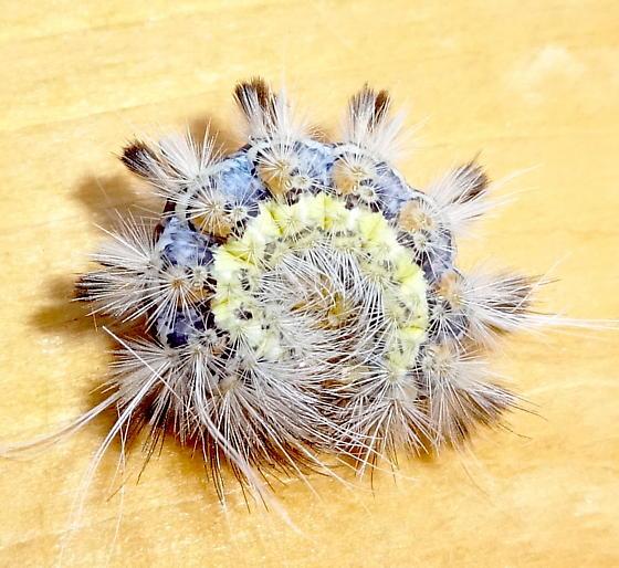 Hairy Caterpillar - Pygarctia murina