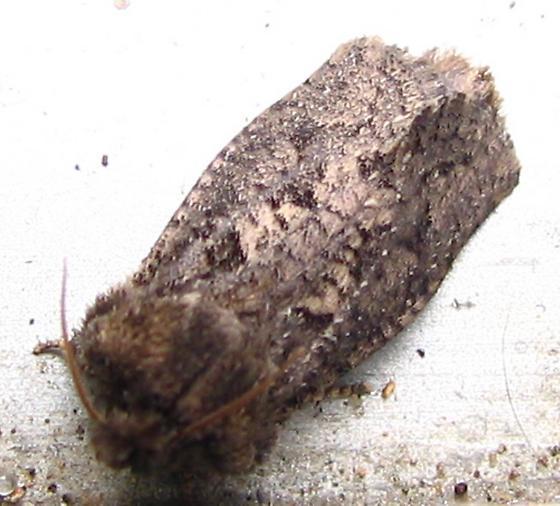 small gray moth. - Acrolophus arcanella