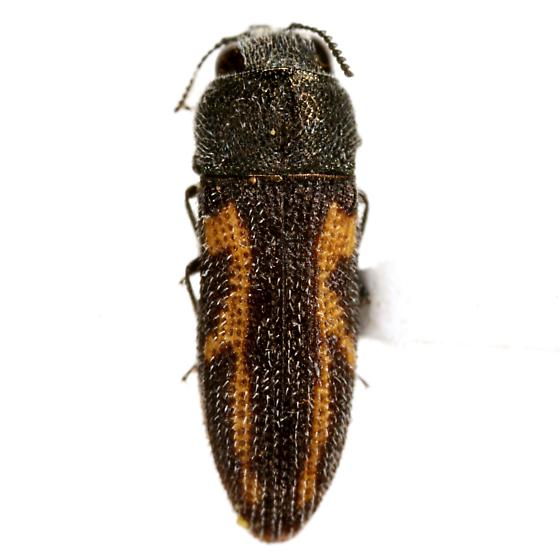 Acmaeodera ligulata Cazier - Acmaeodera ligulata