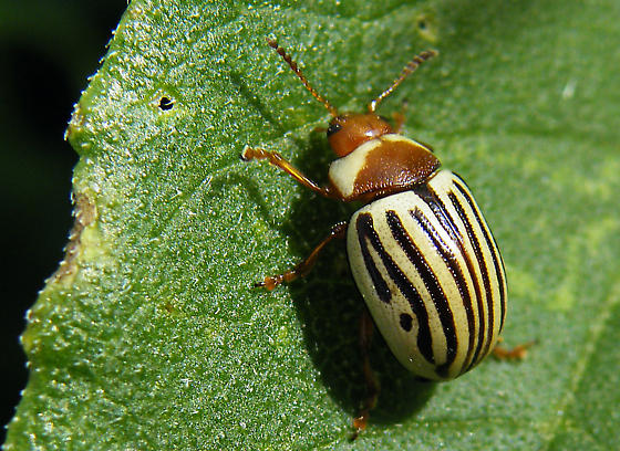 Image result for sunflower beetle