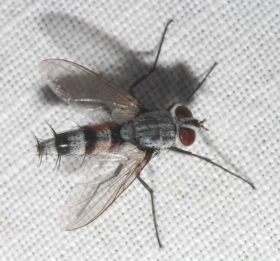 Ptilodexia? - Zelia gracilis - male