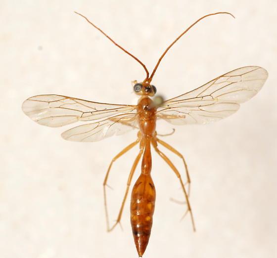 Rhopalosomatidae - Rhopalosoma nearcticum - male