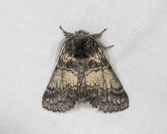 First moth of the night - Gluphisia septentrionis - male
