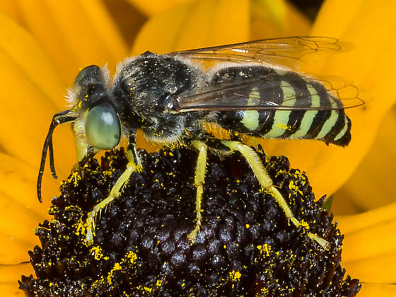 Green-eyed wasp with yellow legs - Bembix